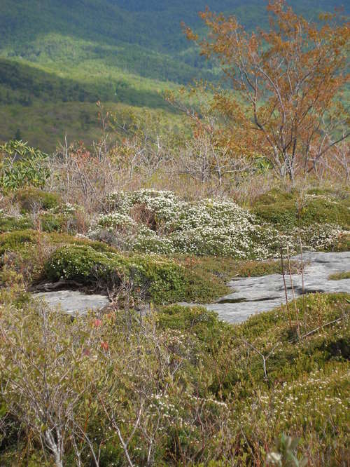 Sand Myrtle blooming on Rough Ridge